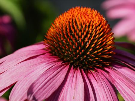 コーンフラワー (ムラサキバレンギク)、夏の花