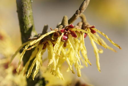 Witch Hazel Hybride, Hamamelis intermedia, colours of spring 版權商用圖片