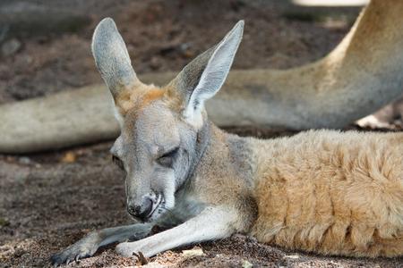Red Kangaroo, Macropus rufus, photo was taken in Australia