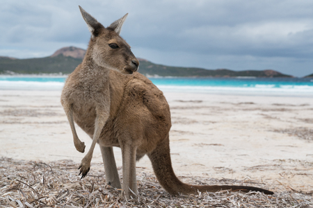 Kangaroos on the white beach of Lucky Bay, Cape Le Grand National Park, Western Australia