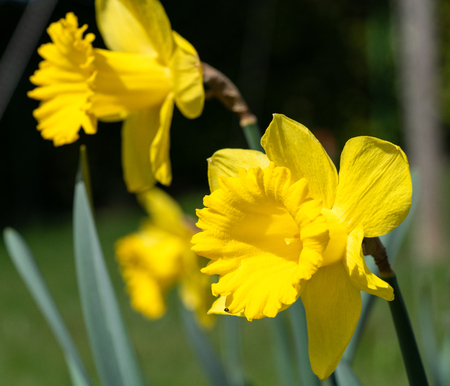 Daffodil (Narcissus pseudonarcissus), flowers of springtime