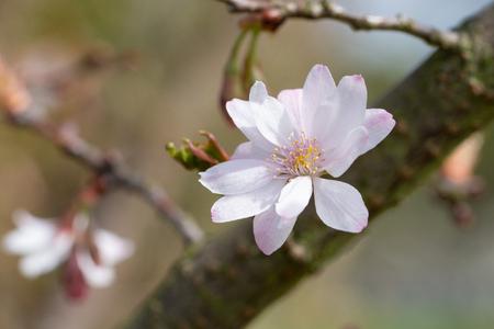 Higan cherry (Prunus subhirtella)