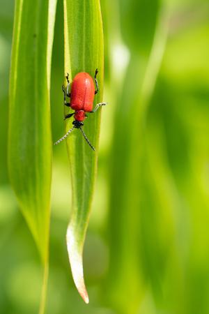 Lily leaf bug(Lilioceris lilii), vermin in the gardens