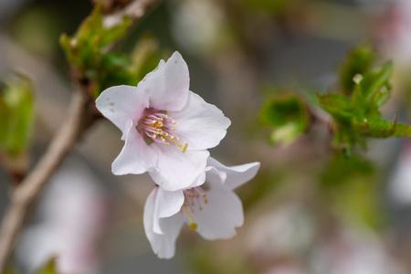 Fuji cherry Kojou-no-mai (Prunus incisa)