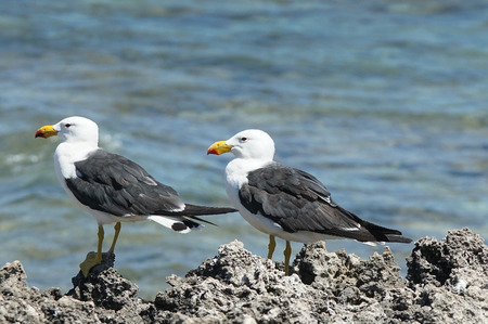 Pacific Gull, Larus pacificus, photo was taken in the Leeuwin-Naturaliste National Park, Australia Stock Photo