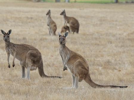 Western Grey Kangaroo, Macropus fuliginosus, photo was taken in Western Australia