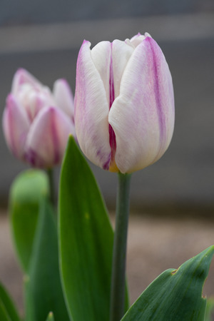 Tulip, Tulipa, close up of the flower of spring