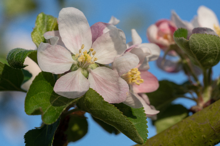 Apple tree (Malus domestica), blossoms of springtime