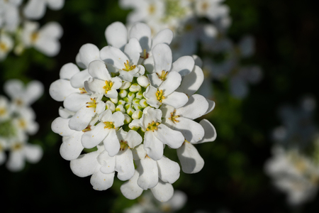 Evergreen Candytuft (Iberis sempervirens), blossoms of springtime Stock Photo