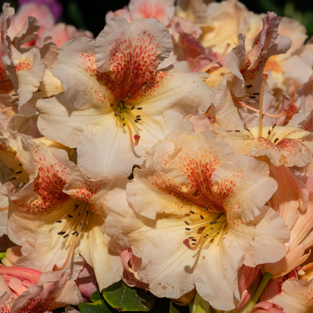 Rhododendron Hybrid Peggy (Rhododendron hybrid), close up of the flower head Stock Photo