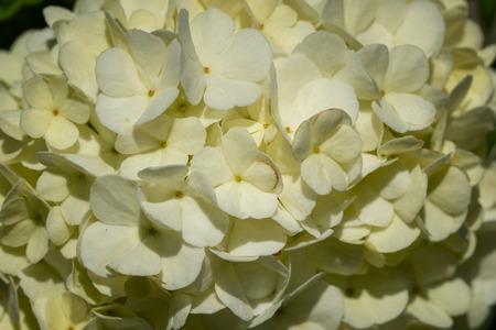Viburnum (Viburnum opulus), close-up of the flower head Stock Photo