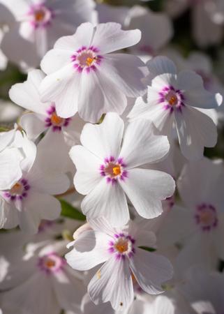 Moss Phlox (Phlox subulata), flowers of summer