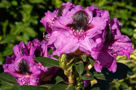 Rhododendron Hybrid Kangaroo (Rhododendron hybrid), close up of the flower head in sunshine