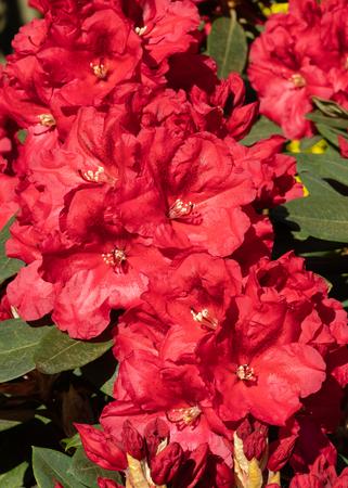 Rhododendron Hybrid Rabatz (Rhododendron hybrid)