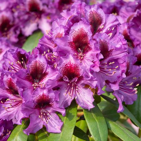 Rhododendron Hybrid Orakel (Rhododendron hybride)