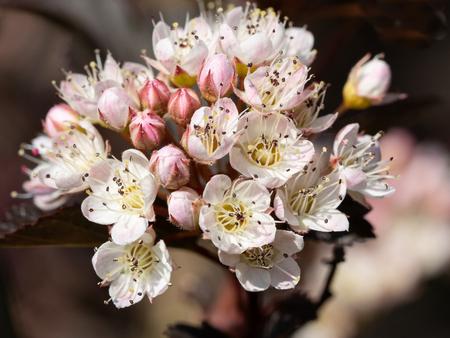 Common ninebark (Physocarpus opulifolius), close up of the flower head