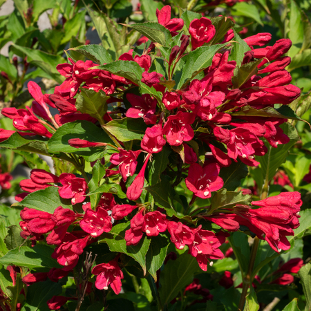 Weigela (Weigela florida), close up of the flower head Archivio Fotografico