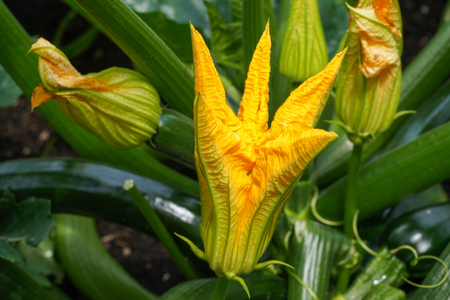 Blossom of courgette plant (Cucurbita pepo) Stock Photo