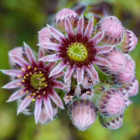 Common houseleek (Sempervivum tectorum), flowers of summer