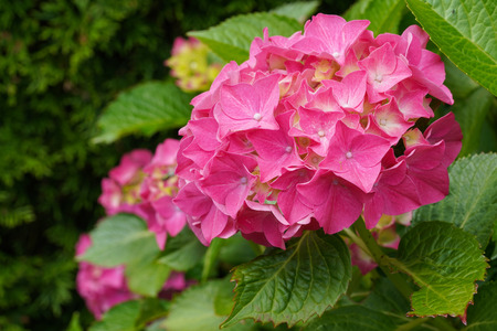 Penny mac (Hydrangea macrophylla), flowers of summer Stock Photo