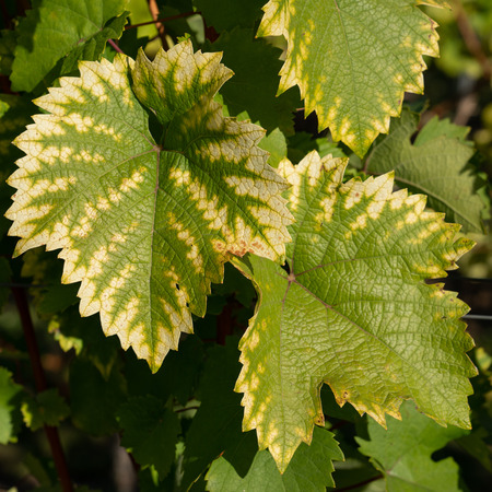 Vine leafs with autumnal colours