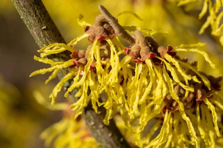 Witch Hazel Hybride (Hamamelis intermedia), colours of spring