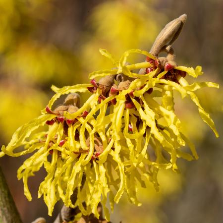 Hamamélis hybride (Hamamelis intermedia), couleurs du printemps Banque d'images