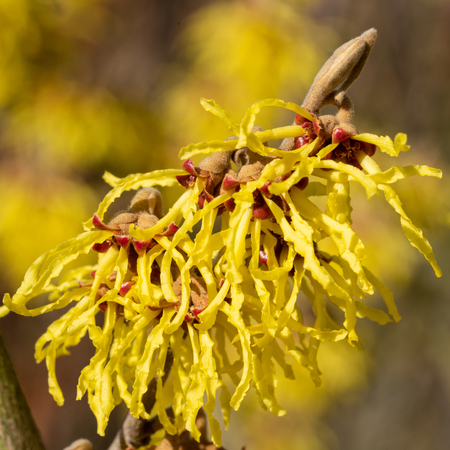 Witch Hazel Hybride (Hamamelis intermedia), colours of spring
