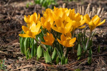 Crocus (Crocus), flowers of spring Reklamní fotografie