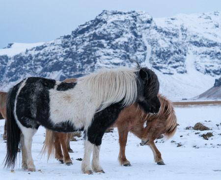 Iceland horse (Equus caballus), traditional horse from the Icelandic island Stock Photo