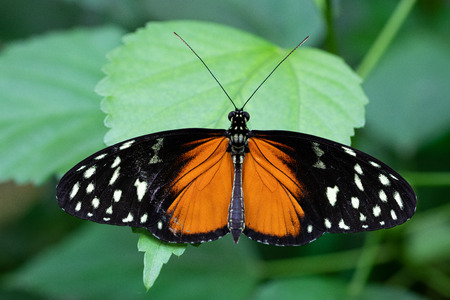 Golden longwing (Heliconius hecale), close-up of the butterfly