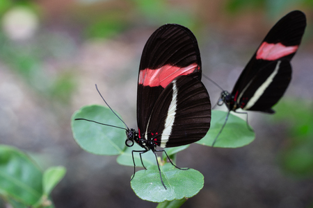 The red postman (Heliconius erato), close-up of the butterfly