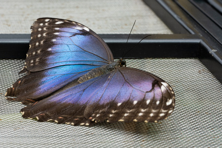 Blue morpho butterfly (Morpho peleides), close-up of the butterfly