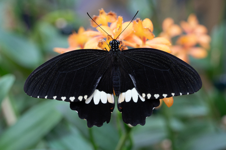 Common mormon (Papilio polytes), close-up of the butterfly