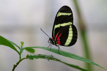 Hewitsons longwing (Heliconius hewitsoni), close-up of the butterfly Stock Photo