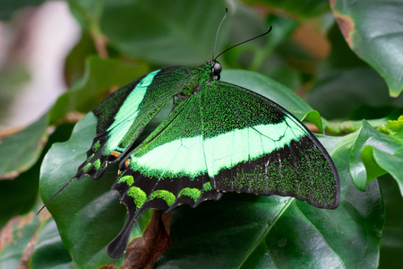 Emerald swallowtail (Papilio palinurus), close-up of the butterfly