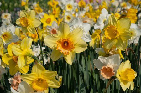 Jonquille (Narcisse), fleurs de printemps