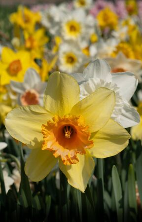 Daffodil (Narcissus), flowers of springtime