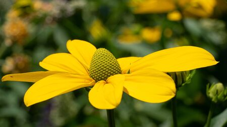 Shiny Coneflower (Rudbeckia nitida), flowers of summer