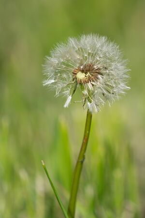Common dandelion (Taraxacum), close up of the blowball Reklamní fotografie