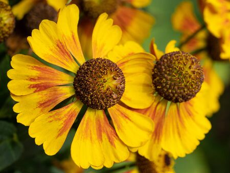 Helens Flower (Helenium), flowers of summertime
