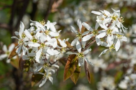 Juneberry (Amelanchier lamarckii), blooms of springtime