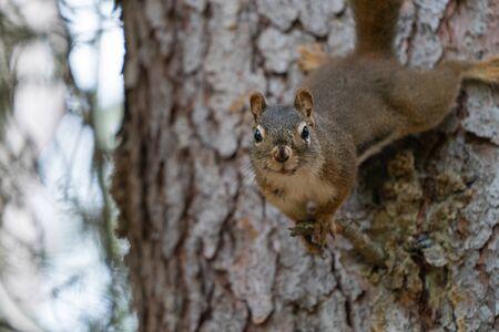 Red Squirrel (Tamiasciurus hudsonicus), Banff National Park, Alberta, Canada Imagens