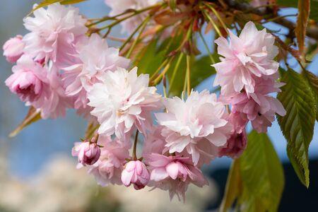 Hill Cherry Kiku-Shidare-Sakura (Prunus serrulata)