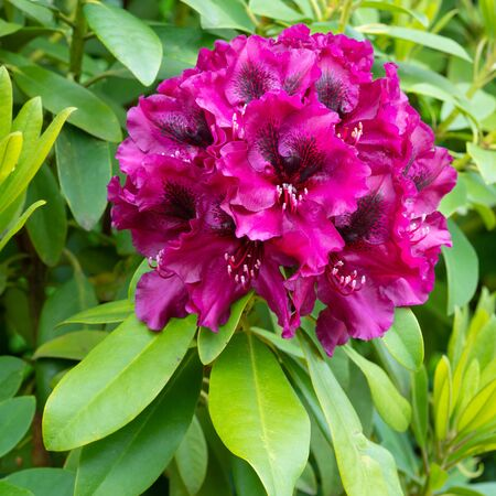 Rhododendron Hybrid Midnight Beauty (Rhododendron hybrid), close up of the flower head Stock Photo