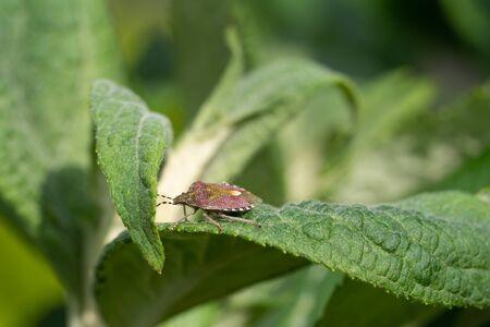 Sloe Bug (Dolycoris baccarum) on a green leaf Stock Photo