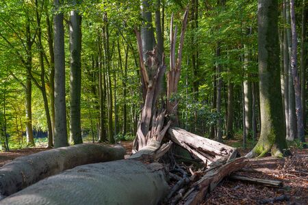 Forest lifecycle, beechwood forest with fresh green and fallen trees