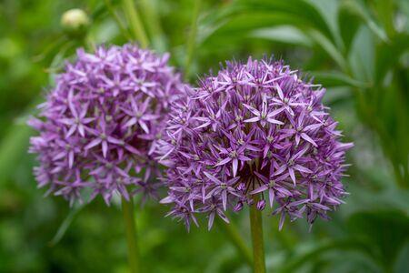 Persian onion (Allium hollandicum), close up image of the flower head Stock Photo