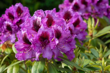 Rhododendron Hybrid Orakel (Rhododendron hybride) Stock Photo - 150304326