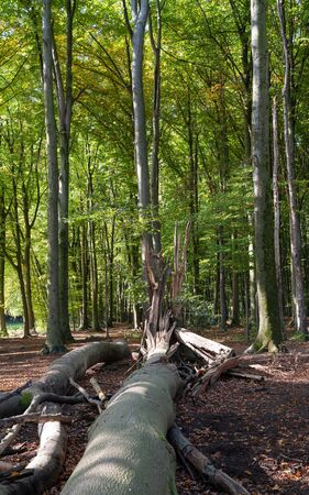 Forest lifecycle, beechwood forest with fresh green and fallen trees Stock Photo - 150304426